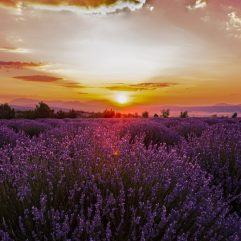 Lavender Field 2 by Banu Nazikcan
